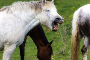 Wenn das Pferd gähnt