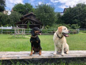 Der alte Hund als Vorbild für den Junghund